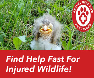 Animal Help Now: Found Fledgling
